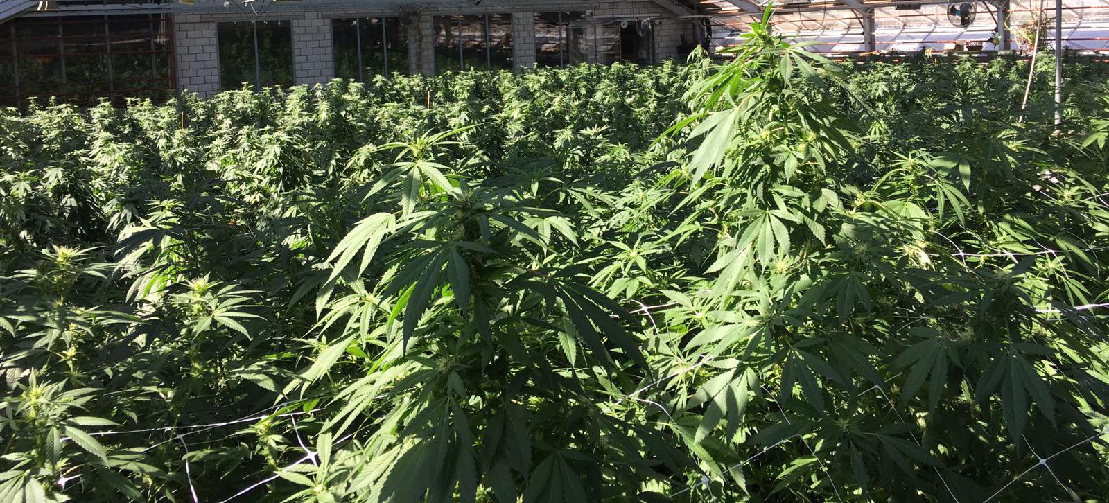 Coltovazione erba legale