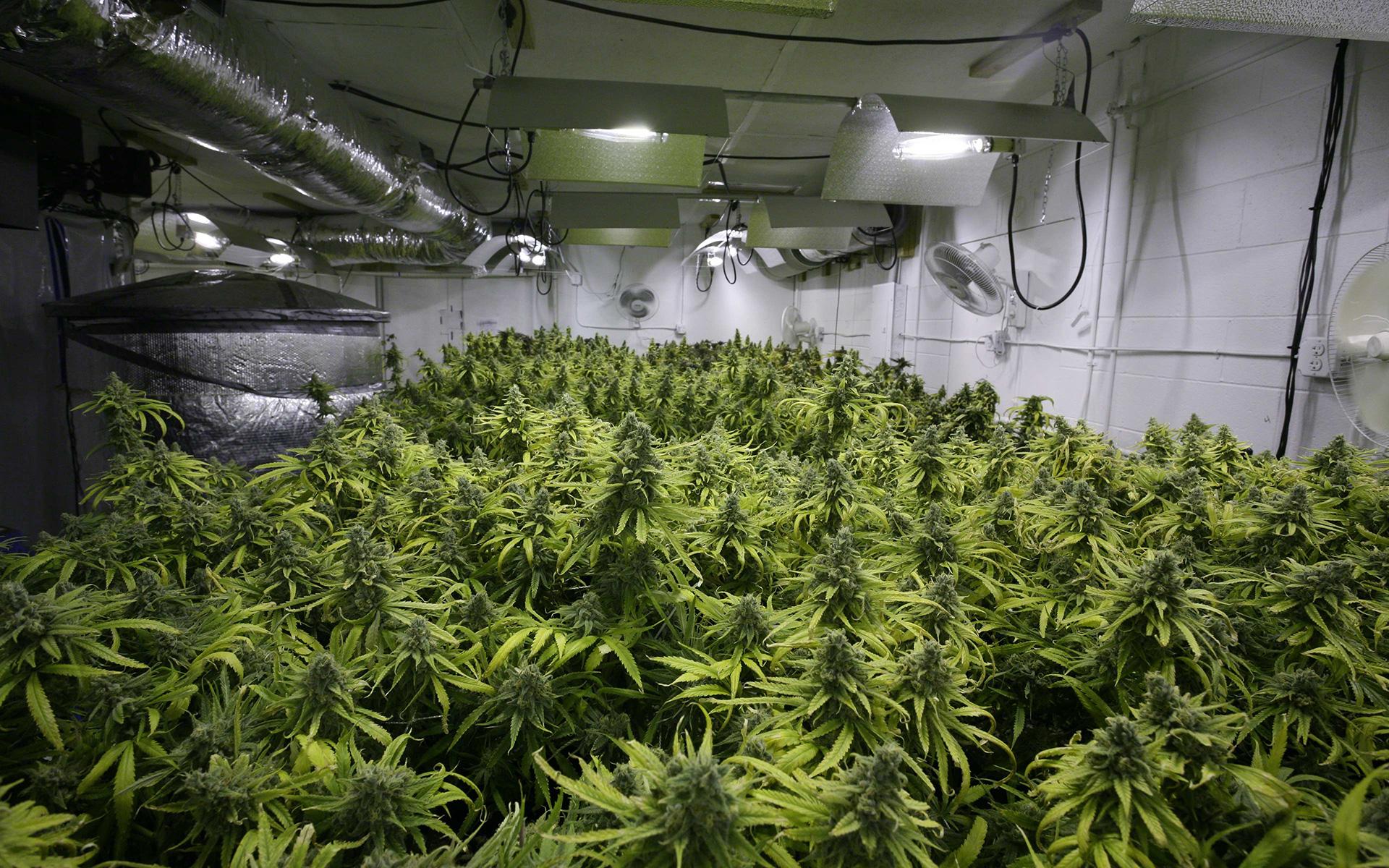 coltivazione cannabis light cbd