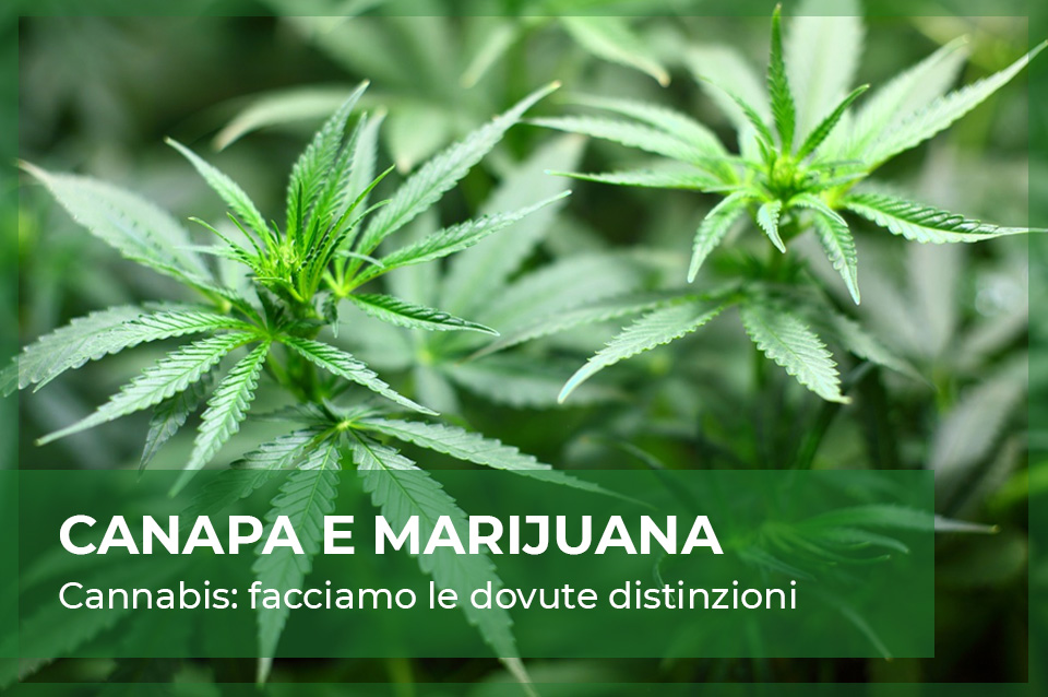 differenze cannabis light cbd e marijuana